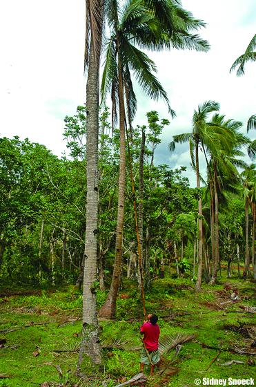 Harvesting and Post-harvest Management | Coconut Handbook