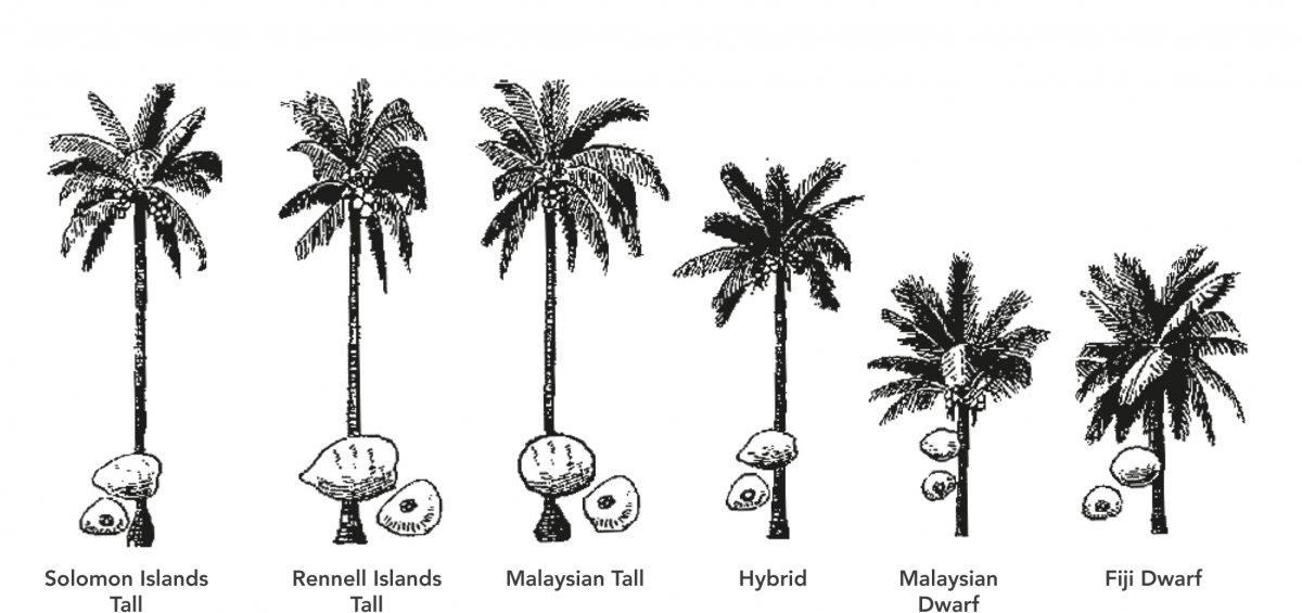 Plantation   Coconut Handbook